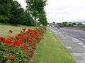 Roses along Sunderland Road, Felling (geograph 1965345).jpg