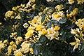 Roses in National Botanic Garden,Dublin,Ireland - panoramio.jpg