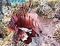 Rotfeuerfisch, lionfisch (рыба-зебра, рыба-лев). DSCF1372ВЕ.jpg