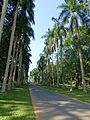 Royal Palm Avenue-Jardin botanique de Kandy (2).jpg