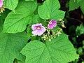 Rubus odoratus G4.JPG