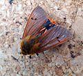 Ruby Tiger Moth. Phragmatobia f. fuliginosa - Flickr - gailhampshire (1).jpg