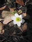 Ruhland, Grenzstr. 3, Weißes Buschwindröschen im Garten, blühende Pflanze, Frühling, 02.jpg