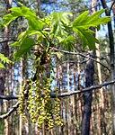Ruhland, Grenzstraße, Wald gegenüber Hausnr. 2, Roteiche, Zweigspitze mit Blättern und Blüten, Frühling, 02.jpg