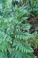 Rumohra adiantiformis kz7.jpg