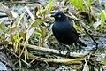 Rusty Blackbird (8621318940).jpg