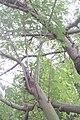 SZ 深圳 Shenzhen 蛇口 Shekou Nanshan 四海公園 Sihai Park 美人櫻 Ceiba Speciosa 酒瓶木棉 Floss-silk Tree 美麗異木棉 Sept 2017 IX1 08.jpg