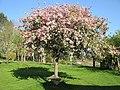 Sakeham cherry tree.jpg