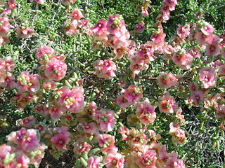 <i>Salsola</i> Genus of plants