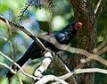 Saltator fuliginosus -Piraju, Sao Paulo, Brazil-8 (1).jpg
