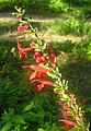 Salvia coccinea-- Blood Sage (25805111144).jpg
