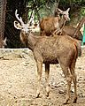 Sambar Deer in the Vandalur Zoo.jpg