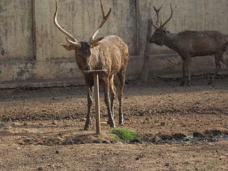 Gwalior - Sambhar at Gandhi Zoological Park (Gwalior zoo)