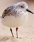 Sanderling (with tag).jpg