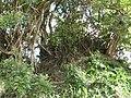 Sansevieria sp. Mape 5 (6849946527).jpg