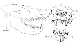 Creodonta - Lateral outline and front view of skull of Sarkastodon mongoliensis.