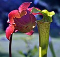 Sarracenia (leucophylla x (leucophylla x flava)) x open-pollinated (6080803337).jpg