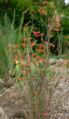 Satureja mexicana 1.jpg