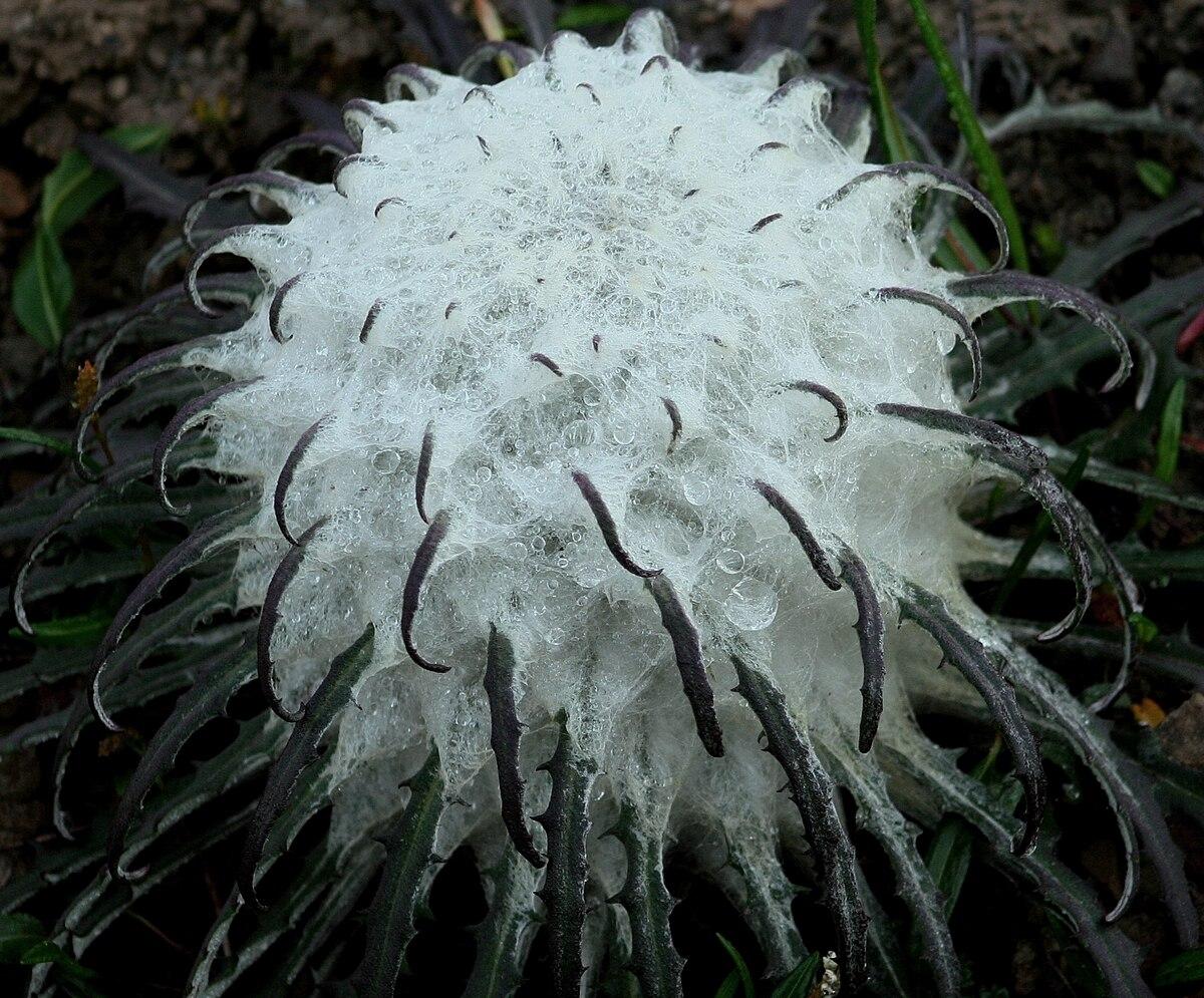 Saussurea gossypiphora - Wikipedia Traditional Chinese Medicine