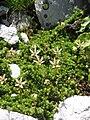 Saxifraga bryoides01.jpg