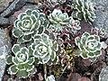 Saxifraga paniculata 'Gourette' 3.JPG