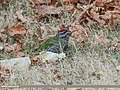Scaly-bellied Woodpecker (Picus squamatus) (32044253134).jpg