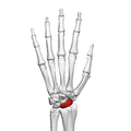 Scaphoid bone (left hand) 02 dorsal view.png