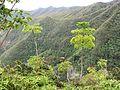 Schefflera actinophylla (8701350590).jpg