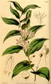 Schelhammera multiflora CBM.png