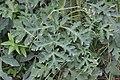 Schiermonnikoog - Gewone berenklauw (Heracleum sphondylium).jpg