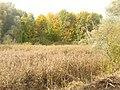 Schilf auf dem Buschgrabensee (Reeds on Buschgraben Lake) - geo.hlipp.de - 29593.jpg