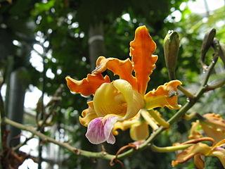 <i>Myrmecophila brysiana</i> species of plant