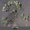 Scleranthus annuus s. str. sl3.jpg