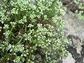 Scleranthus perennis inflorescence (05).jpg