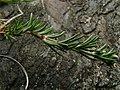 Scleranthus perennis stem (01).jpg
