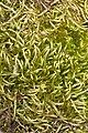 Scleropodium julaceum (scleropodium moss) (7039294431).jpg