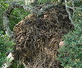 Scopus umbretta nest1.jpg