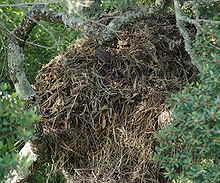Scopus umbretta nest1.jpg