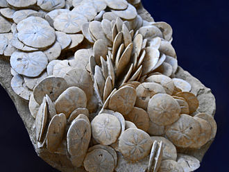 Scutella (genus) - Fossils of Scutella paulensis from France, on display at Galerie de paléontologie et d'anatomie comparée in Paris