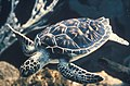 Sea Turtle, NPSPhoto (1) (9254986303).jpg