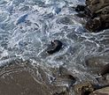 Sea lion in foamy water in La Jolla (70366).jpg