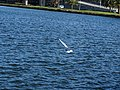 Seagull (36336211500).jpg