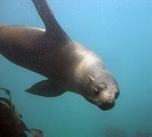 Seal at the Cape Town Scuba Diving.jpg