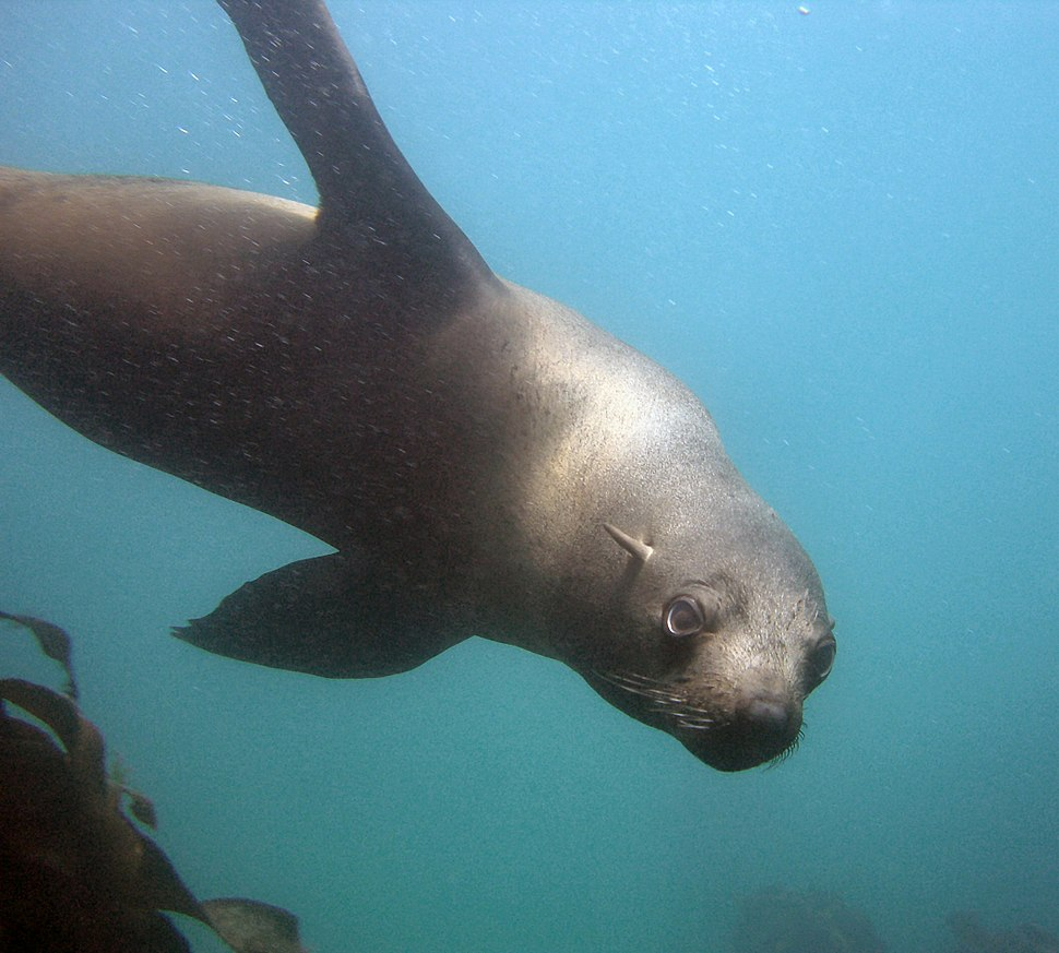 Seal at the Cape Town Scuba Diving