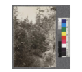 Second growth Redwood Yield Study. View of second growth on road from Point Arena to Smith's, Garcia River. Oct. 1922.png