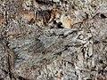 Semioscopis avellanella - Весенняя моль пухокрылая (26985766598).jpg