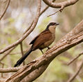 Senegal Coucal -Centropus senegalensis -on tree.jpg