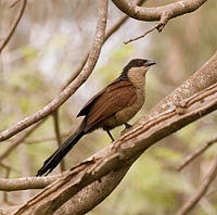 Senegal Coucal -Centropus senegalensis -on tree.jpg