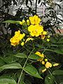 Senna septemtrionalis - Palmengarten Frankfurt - DSC01716.JPG