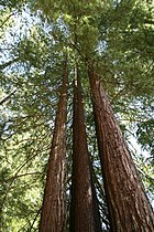 Sequoia sempervirens Armstrong2.jpg
